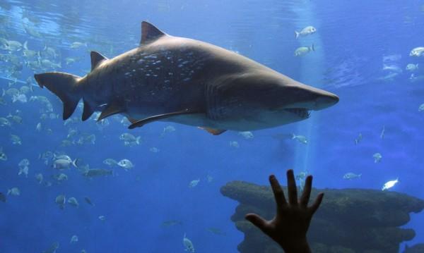 "Женска акула се готви за ""непорочно"" раждане"