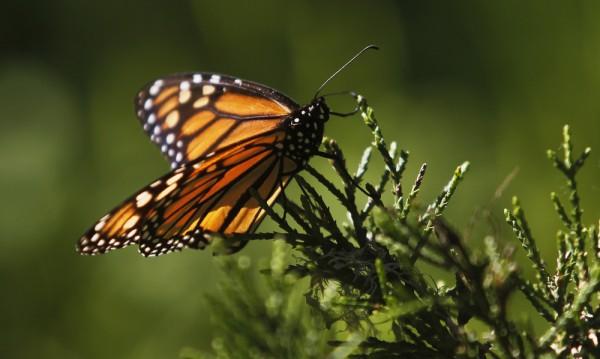 Популацията на пеперудите монарх се увеличава