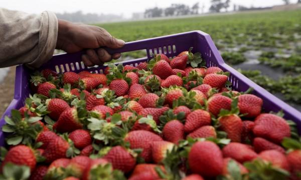 Испания дава ?38 на ден за бране на ягоди, у нас – малко е