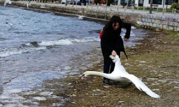 Лебедът Джордж е жив! Плува щастлив с ятото си...