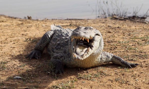 ДНК потвърди: Човекоядни крокодили в САЩ!