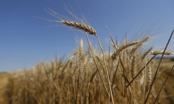 Задигнаха 4 тона пшеница от складове край Балчик