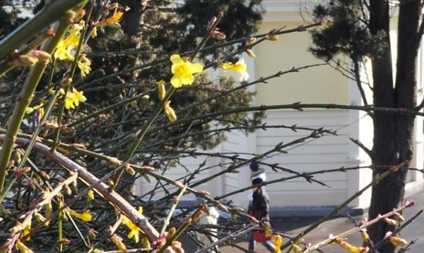 Жасминов храст цъфна в Морската градина на Варна