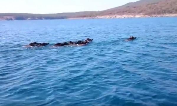 Черно море, много е добре, плува си прасе...