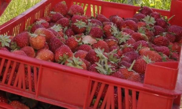 Испания търси наши ягодоберачки за по €38,70 на ден