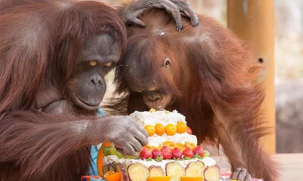 Честит рожден ден... на най-възрастния орангутан