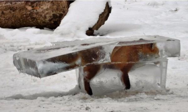 """""""Ледена епоха"""": Замръзването на лисиците в Дунава!"""