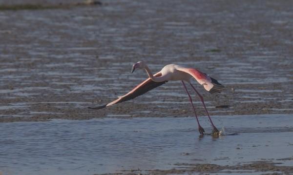 Последното преброяване: Северни птици, но и фламинго