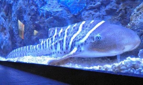 Хем майка, хем баща: Женска акула се оплоди сама