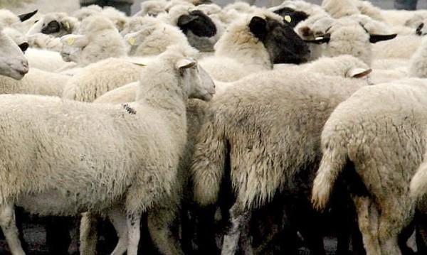 Стадо овце изгоря при пожар в Смолянско
