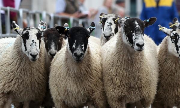 Чиновници и овце: Как животните страдат заради грешка?