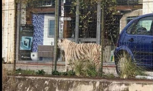 Барикада в италианско градче – тигър избяга от цирка