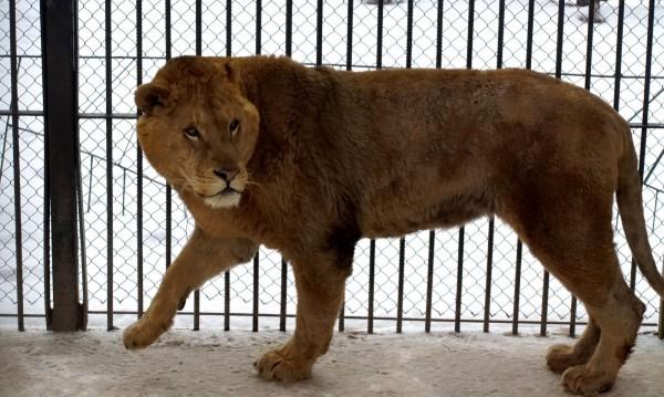 Лъвицата Стела избяга от клетката си в зоопарка в Стара Загора