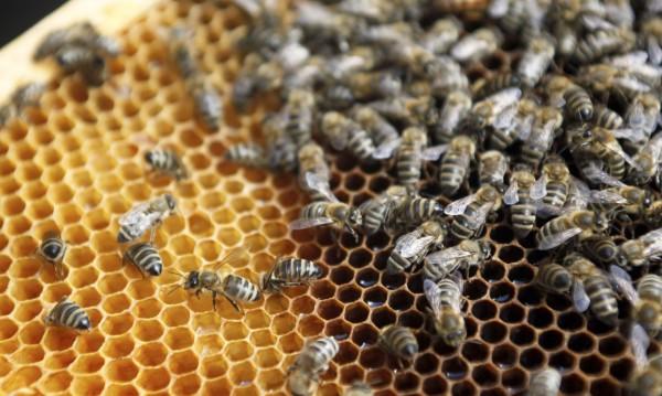 Дефицит на мед: 50% от пчелите ни измряха през зимата