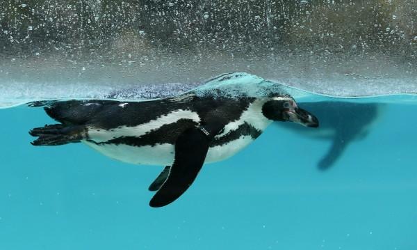 Да свиеш... пингвин! Откраднат е от зоопарка в Манхайм