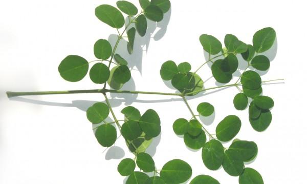 Лечебните свойства на растението моринга