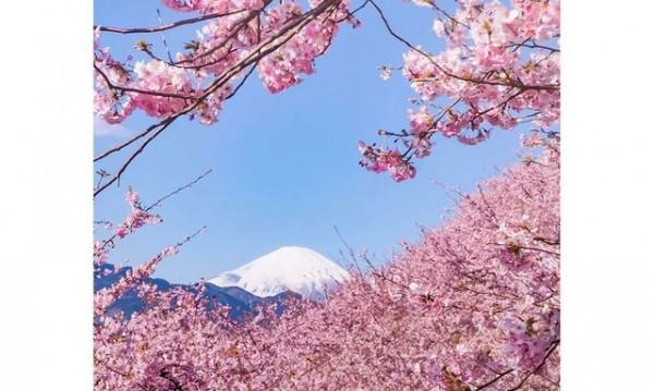 Забележителна красота! Вишневите градини в Япония