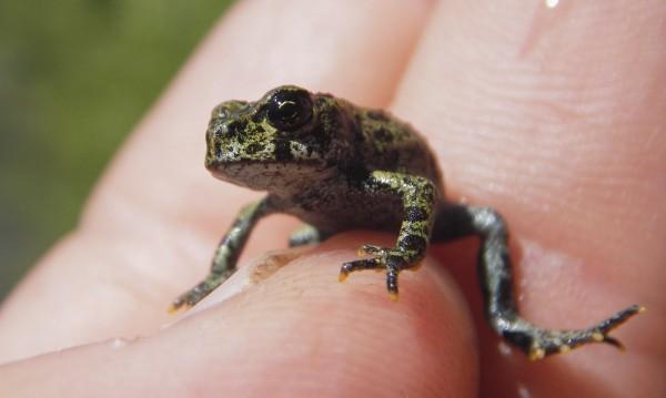 Нови мини нощни жаби откриха в Индия