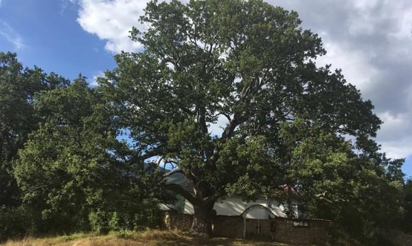 Трънчани призовават: Гласуйте за нашто дръво у Насальевци!