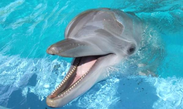 Отровни риби – дрогата при делфините