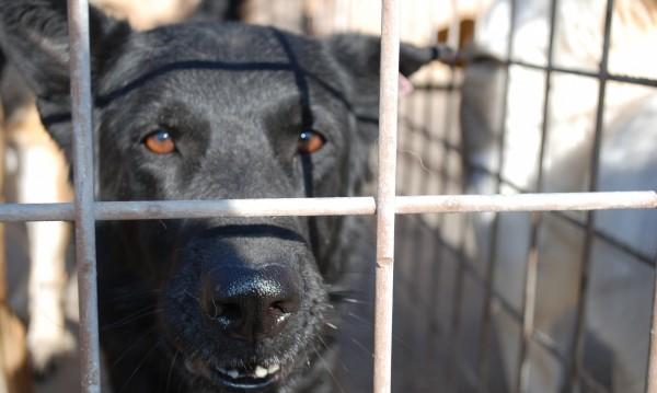 Бойни кучета – на воля по улиците ни. Защо?
