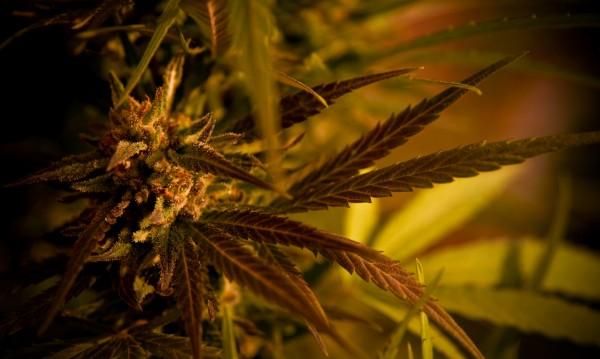 Фурна с дъх на трева: Отглеждат марихуана в хлебопекарна