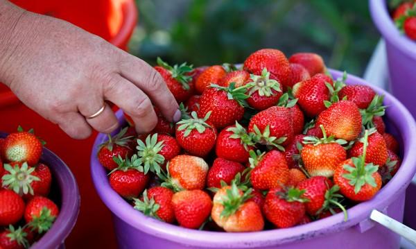 Ягодите и спанака – с пестициди. Авокадото– най-чисто