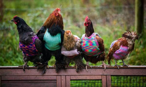 Пенсионерски почин: Плетени пуловери за... пилета