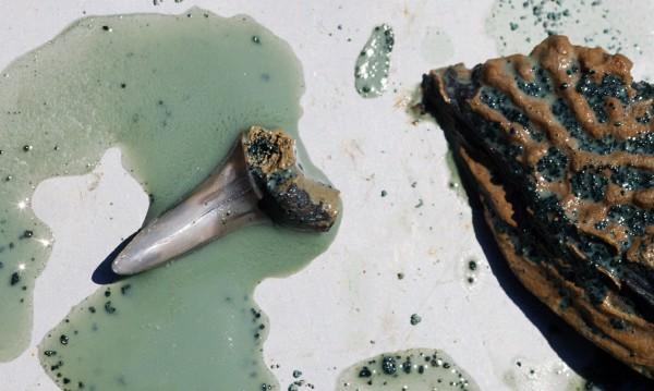 Откриха древни прародители на акулите
