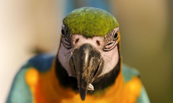 Наркозависими папагали се друсат по дърветата в Индия