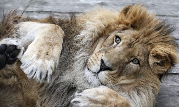 Роми тормозят лъв, маймуни в... зоопарка на Благоевград