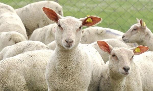 Пастирът убит от фермер, загубил му две овце