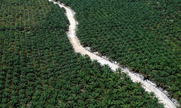 Палмовото масло – канцерогенно, токсично... Всяка втора храна го има