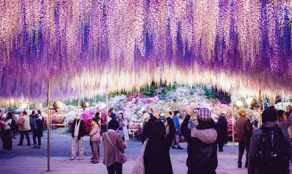 Ежегодният фестивал Great Wisteria в Япония