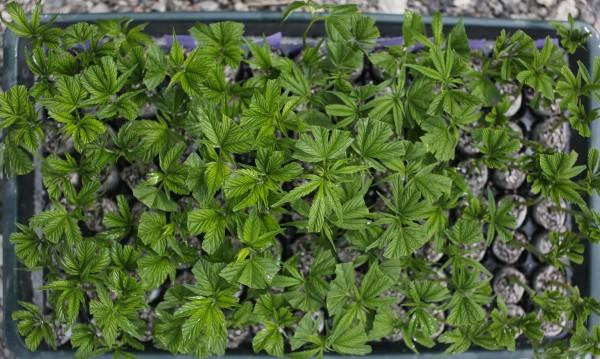 Канада се готви да легализира марихуаната