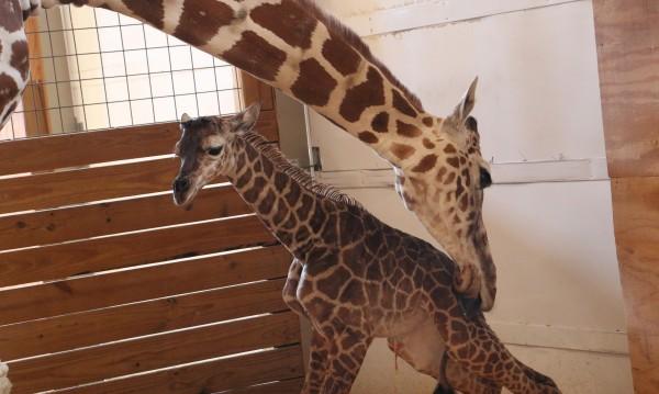 Нова интернет сензация - раждането на жирафче