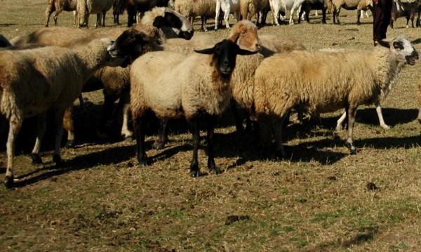 Вълци удушиха седем овце и раниха телета посред бял ден