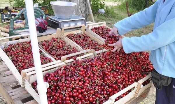Студът унищожи кюстендилските череши – 100 процента
