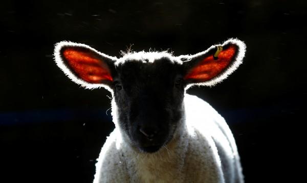 Апаши задигнаха 20 агнета от кошара в Карнобатско