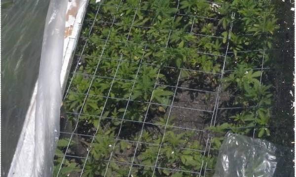 Криминалисти разбиха домашни лаборатории за трева