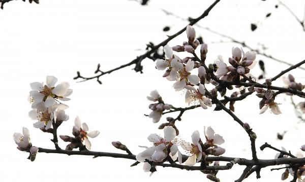 Вандали пречупиха 700 бадемови дръвчета от масив