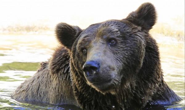 Спасяват най-младия мечок в Белица с... ябълки, круши