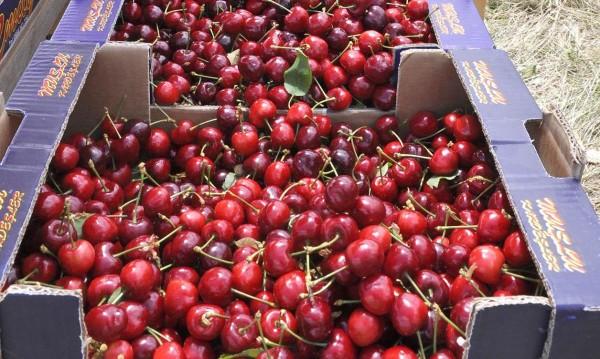 Черешовата реколта в Кюстендил – слаба, МВР зорко я пази