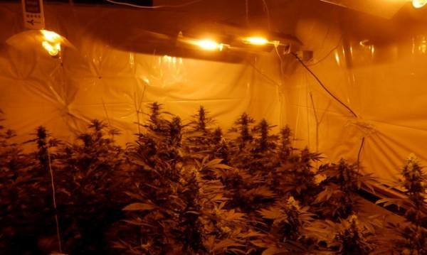 Криминалисти разкриха наркооранжерия в Пазарджишко