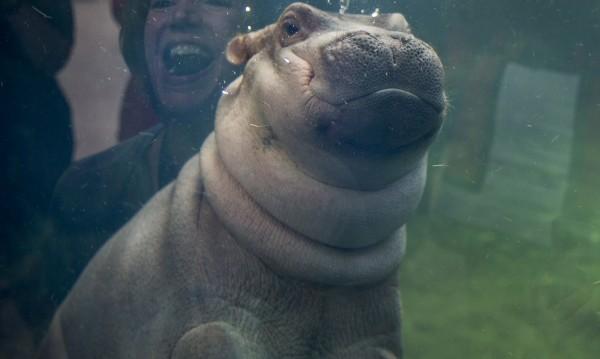 Показаха хипопотамчето от зоопарка в Синсинати