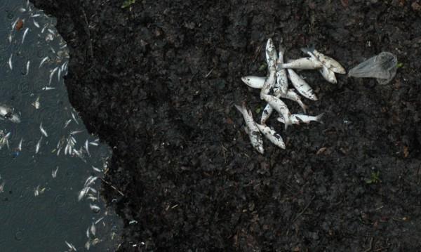 Мъртва риба изплува в река Тунджа