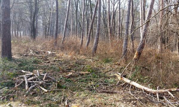 Изсъхват над 10 000 хектара изкуствено засадени гори