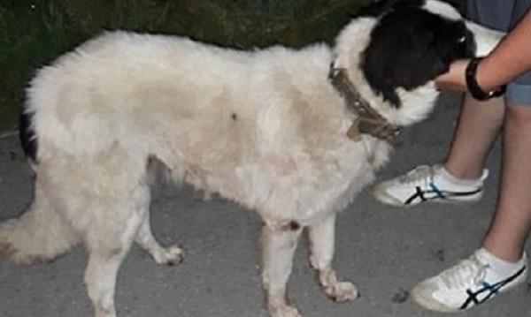 Пиян върза куче за кола! Влачи го из Габрово