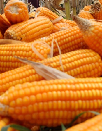 Яжте царевица срещу атеросклероза