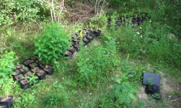 Задържаха мъж, отглеждал 145 растения марихуана